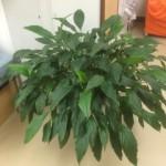 大泉整骨院・針灸院/優子さんのお肌再生工場観葉植物