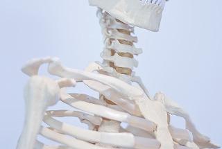 頚部骨模型